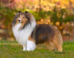 sheltie colors american shetland sheepdog association